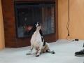 стрижка больших собак