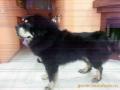 Стрижка крупных собак