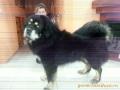 Тибетский мастиф Батон