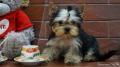 стрижка декоративных собак